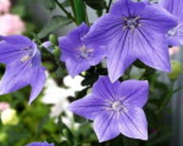 8月28日の誕生花と花言葉です。 ...