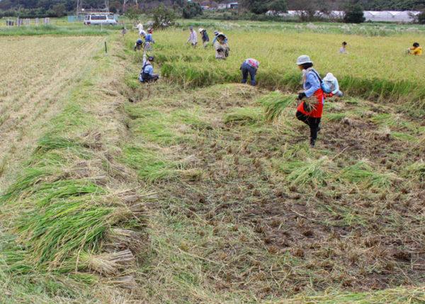 田んぼ 収穫