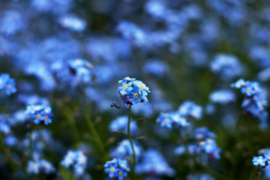 Forget-me-not_01[2]