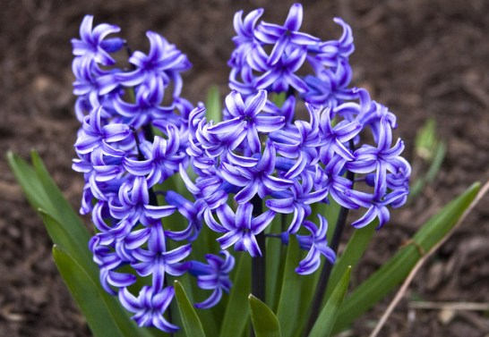 Hyacinth_01[1]