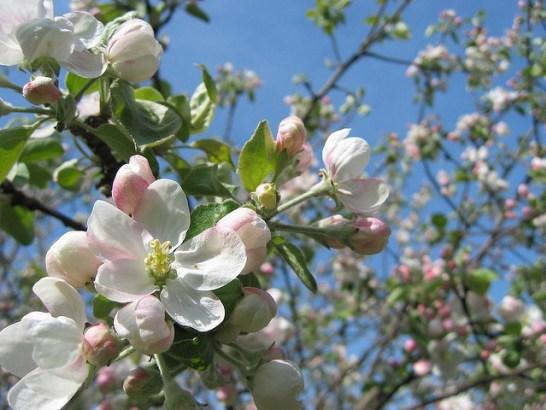 Apple-blossom_01[1]