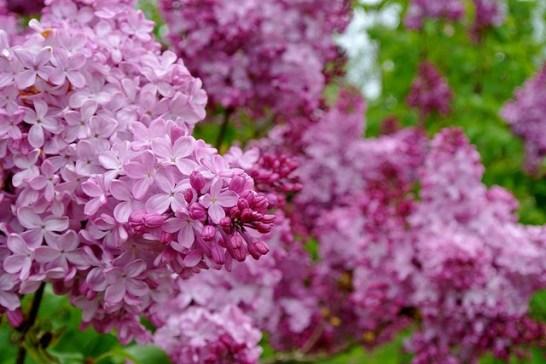 Lilac_01[1]