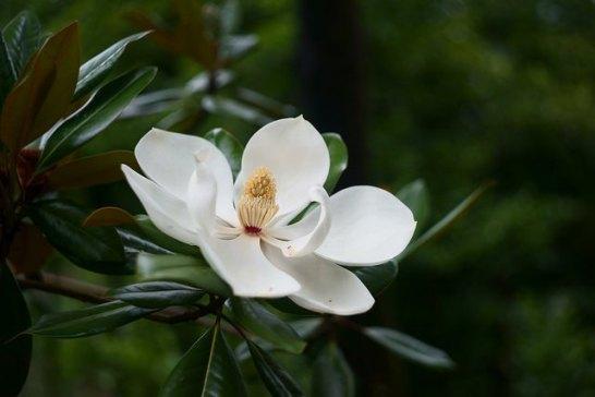 Southern-magnolia_01[1]
