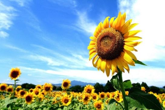 Sunflower-01[1]