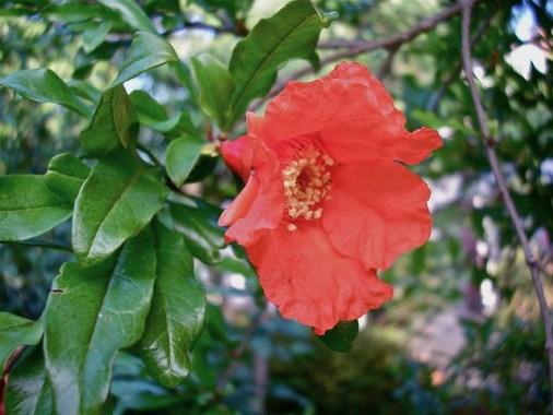Pomegranate_01[1]