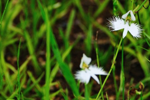 White-egret-flower_01[1]