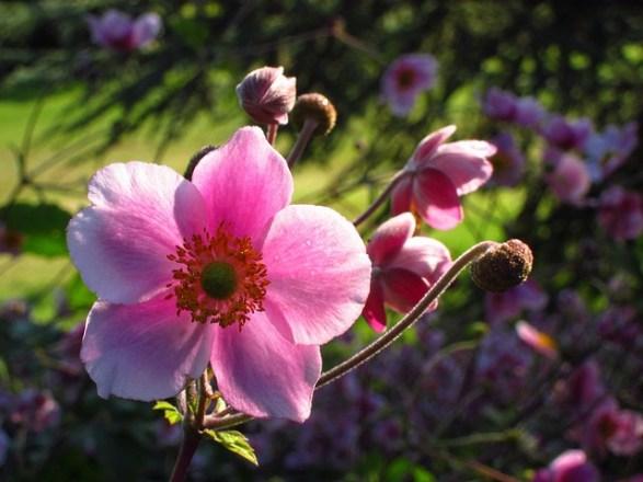 Japanese-anemone_01[1]