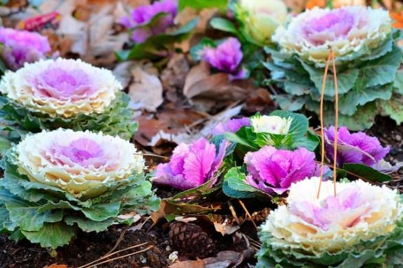 Flowering-kale_01[1]