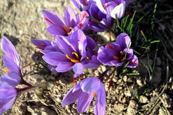 Saffron-crocus_01[1]