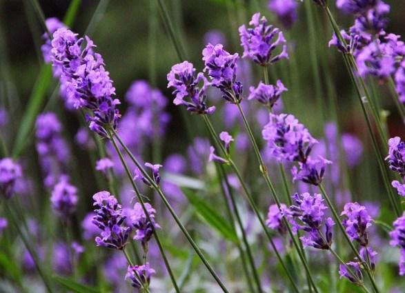 Lavender_01[1]