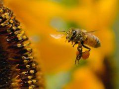 花粉を運ぶ蜂
