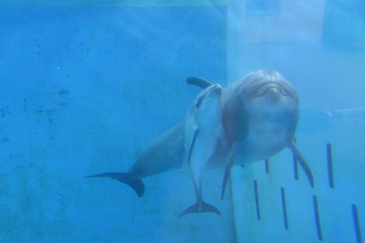 新江ノ島水族館初 4月21日(火)人工授精でバンドウイルカの赤ちゃん誕生!