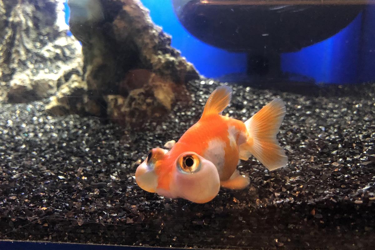 7月はテーマ水槽「珍しい金魚と江の島散歩」を展示♪ 新江ノ島水族館